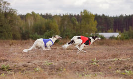 Coursing. The Race of Russkaya psovaya borzaya Stock Images