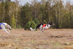 Coursing. The Race of Russkaya psovaya borzaya Stock Photo