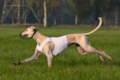 Coursing Saluki Royalty Free Stock Photography