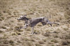 Dog Italian Greyhound pursues bait in the field stock photography