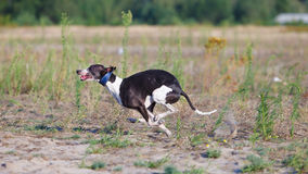 Coursing. Whippet dog running in the field. Summer sunny evening Royalty Free Stock Photography
