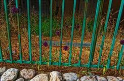 Coursons pourpres multiples près d'une barrière verte photo stock