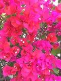 Coursons roses de bouganvillée Photo libre de droits