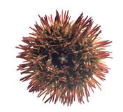 Court rouge - variegatu varié spined de Lytechinus d'oursin Photo libre de droits