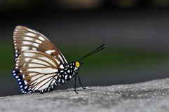 Courtesan butterfly. Of thailand background Stock Images