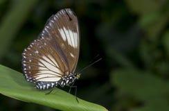 Courtesan butterfly Female, Euripus nycteliu, Garo Hills, meghalaya