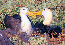 Courting Albatrosses Royalty Free Stock Photography
