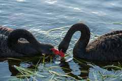Courting black swans Royalty Free Stock Images