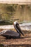 Courting brown pelican Pelecanus occidentalis. In a pond in Southern Florida royalty free stock photography