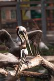 Courting brown pelican Pelecanus occidentalis. In a pond in Southern Florida stock photography