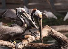 Courting brown pelican Pelecanus occidentalis. In a pond in Southern Florida stock photo