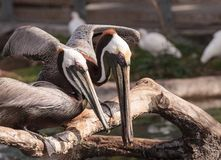 Courting brown pelican Pelecanus occidentalis. In a pond in Southern Florida stock image