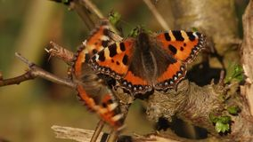 Courting butterflies stock video