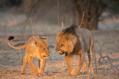 Courting cats. Male and female lion courting Royalty Free Stock Photos