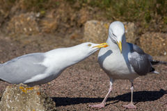 Courting couple. Social behaviour, ethology, in animals. Seagull. Courting couple. Social behaviour in animals. Seagull birds interacting Royalty Free Stock Images