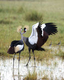 Courting Crowned Cranes Royalty Free Stock Photo