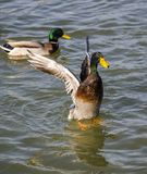 Courting ducks Stock Photos