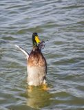 Courting ducks Stock Image
