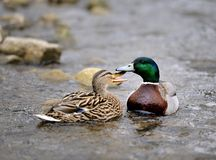Courting Ducks Stock Images