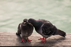 Courting feral pigeons Stock Photos