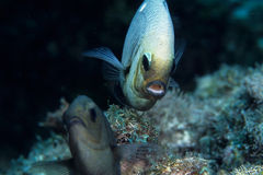 Courting fish. Underwater royalty free stock photos