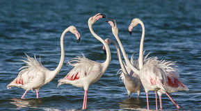 Courting Flamingoes. Flamingoes courting in the Lagoon Royalty Free Stock Image