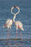 Courting Flamingoes. A pair of Flamingoes courting in the Lagoon Stock Photography