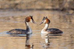 Courting great crested grebes Podiceps cristatus, Italy. Courting great crested grebes couple facing each other Podiceps cristatus, Italy royalty free stock photos