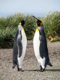 Courting King Penguins. A pair of courting king penguins standing with beaks raised toward the sky. Tussac grass is in the background. Shallow depth of field stock images