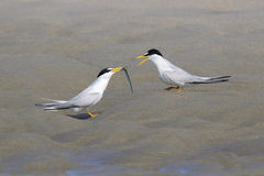 Courting Least terns Stock Photography