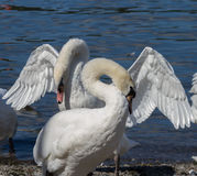 Courting Mute Swans on Lake Shore Stock Image