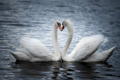 Courting Mute Swans Royalty Free Stock Image