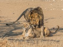 Courting Lion Pair. A courting pair of lions in the Kgalagadi Transfrontier Park, straddling South Africa and Botswana royalty free stock image