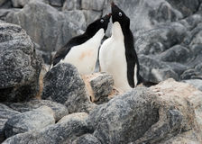Courting penguins. Two Adelie penguins courting. Antarctica stock images