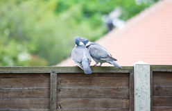 Courting Pigeons Royalty Free Stock Image