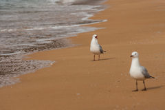 Courting sea gulls Stock Photo