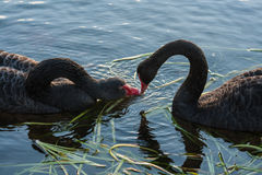 Courting  swans Royalty Free Stock Photo