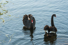 Courting swans on lake Royalty Free Stock Image