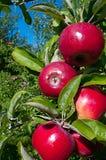Courtland Apples Photos libres de droits
