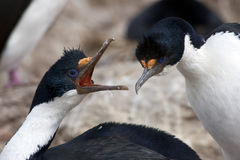Courtship behavior of blue-eyed cormorants. Courtship behavior of two imperial shags in Falkland Islands stock photo