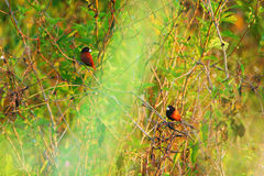 Courtship. Bird courtship during the day Royalty Free Stock Image
