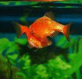 Courtship dance aquarium fish Royalty Free Stock Photography