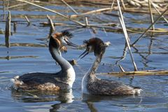 Courtship dance from grebe birds. Crested Grebe royalty free stock photography