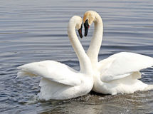 Courtship Dance Of Two Swans Stock Image