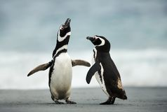 Courtship display of Magellanic penguins. Falkland Islands royalty free stock photography