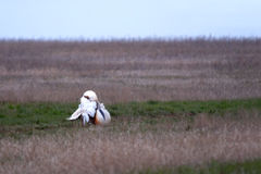 Courtship display of male Great Bustard. (Otis tarda) early morning in steppe. Saratov region, Russia stock image