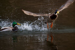 Courtship duck in water Royalty Free Stock Photography