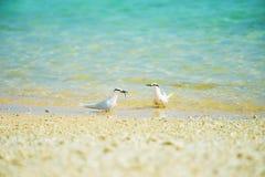 Courtship feeding of Black-naped Tern-Sterna sumatrana Royalty Free Stock Photos
