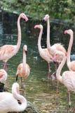 Courtship flamingos Royalty Free Stock Photos