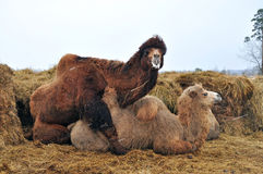 Courtship games Bactrian camels Royalty Free Stock Photography